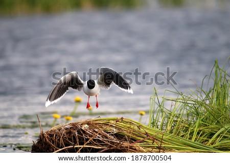 Little Gulls (Larus minutus) set near the nest in the nest habitat (meadow bog; quaking bog - sedge terrestrialization mire). Royalty-Free Stock Photo #1878700504