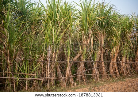 Picture of sugarcane plant growing up in the bosom of nature, where carefully nurtured sugarcane plants will supply sugar to the market in the future