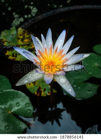Top view picture of water droplets on violet water lily flowers after rainy. Nymphaea lotus is an aquatic plants in Nymphaeaceae family in Bali