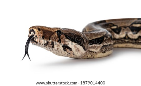 Detail head shot Boa Constrictor aka Boa Constrictor Imperator snake. Isolated on white background. Tongue out. Royalty-Free Stock Photo #1879014400