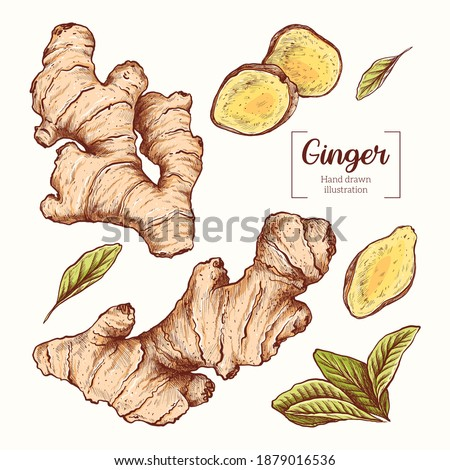 Ginger. Sliced ginger root. leavesVector Hand Drawn. Sketch Botanical Illustration. Eco healthy food. Superfood. Royalty-Free Stock Photo #1879016536