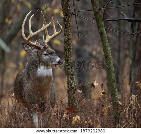 Centerville, Iowa.  United States.  November, 2020.  A big midwest whitetail buck during the rut, in the timber. Royalty-Free Stock Photo #1879202980