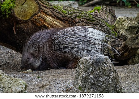 The Indian crested Porcupine, Hystrix indica or Indian porcupine, is a large species of hystricomorph rodent belonging to the Old World porcupine family, Hystricidae