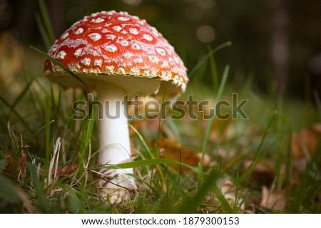 Poisonous mushroom Amanita Muscaria. Close-up picture of the deadly toadstool Fly Agaric on a meadow.