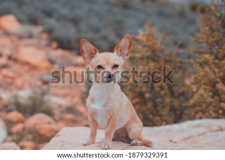 cute chihuahua portrait outdoor pet