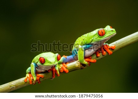 Red-eyed tree frogs (Agalychnis callidryas) - closeup with selective focus. Royalty-Free Stock Photo #1879475056