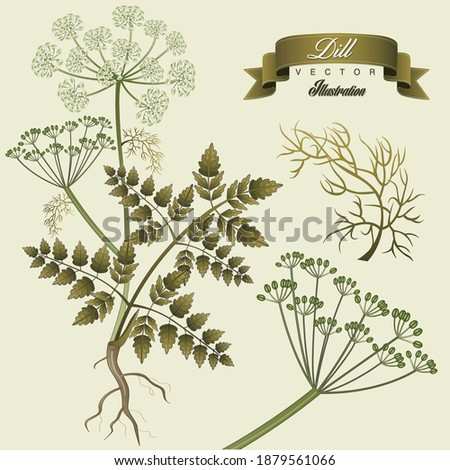 Dill vintage hand drawn medical vector illustrations. Pharmaceutical, botanical dill plant hand drawn. Vector retro dill flower.  #1879561066