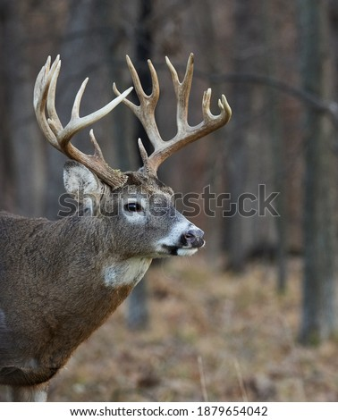 Centerville, Iowa.  United States.  November, 2020.  A large whitetail buck roaming the forest during the rut in the midwest. Royalty-Free Stock Photo #1879654042