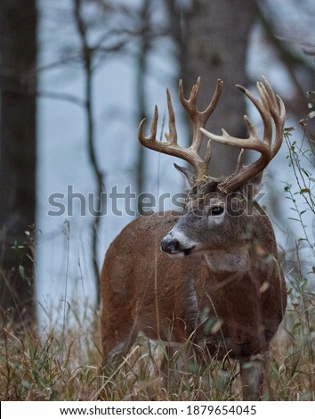 Centerville, Iowa.  United States.  November, 2020.  A large whitetail buck roaming the forest during the rut in the midwest. Royalty-Free Stock Photo #1879654045