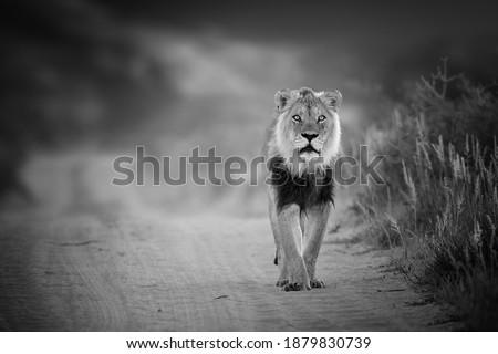 Black and white photo, wild Kalahari lion, Panthera leo, black mane lion walking on sandy road, direct view, low angle, staring at camera. Eye contact with wild lion. Kgalagadi, Botswana.