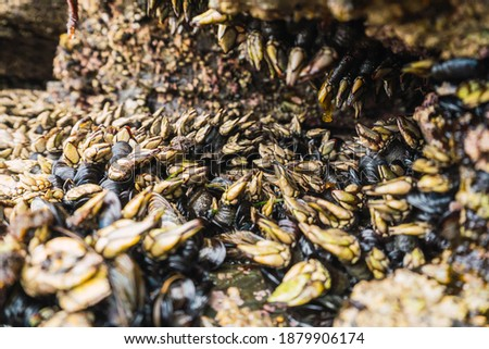 Barnacles and mussels anchored to a rock at low tide on the coast, you can see the dark rock completely covered with these crustaceans and mollusks with an intense green and red color. Royalty-Free Stock Photo #1879906174