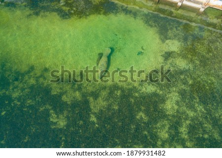 Manatees Swimming In The Ocean