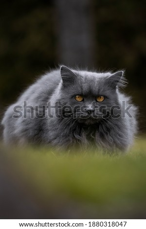 Pictures of  a  gray cat with orange eyes in nature
