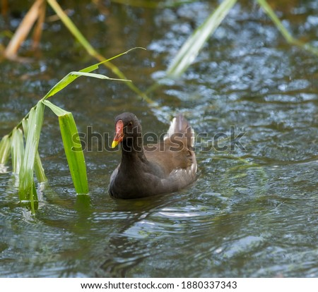 Adult moorhen swimming close to the reeds. Royalty-Free Stock Photo #1880337343