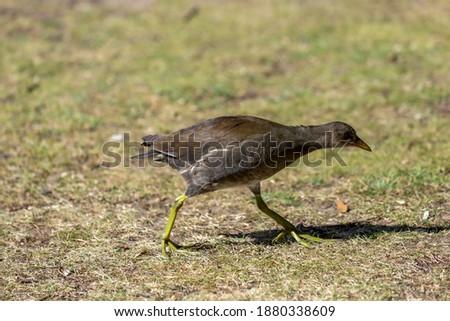 Juvenile moorhen walking across the grass. Royalty-Free Stock Photo #1880338609