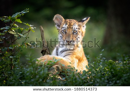 Cute and curious kitty of Siberian tiger in forest. Very young, just playing and fooling around. Typical stripes and orange fur. Dangerous and endangered species. Royalty-Free Stock Photo #1880514373