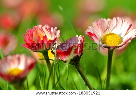 closeup of beautiful red daisies on a meadow #188051921