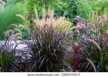 Shimmery Purple Ornamental fountain grass gracefully waving in the late afternoon  Royalty-Free Stock Photo #1880594671