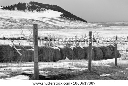 Black and White picture of a fence protecting hay bales on a southern Alberta ranch is adorned with deer antlers