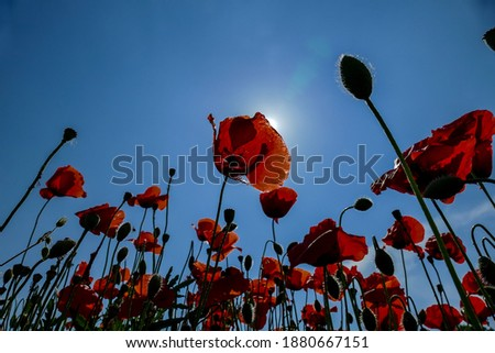 poppies on background of blue sky, digital picture taken in Italy, Europe