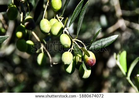 green olives on tree, digital photo picture as a background