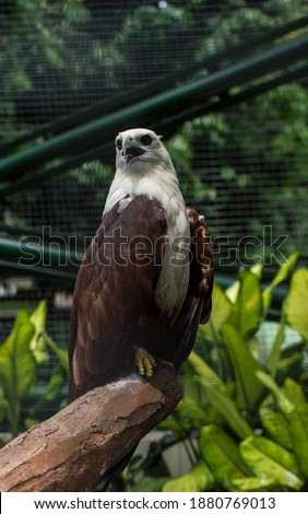 Picture of brahminy kite (Haliatus indus) perched on and squeak