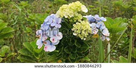 A picture shows Hydrangea serrata in the afternoon at Cugenang Cianjur Indonesia