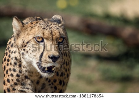 A portrait of a cheetah walking.