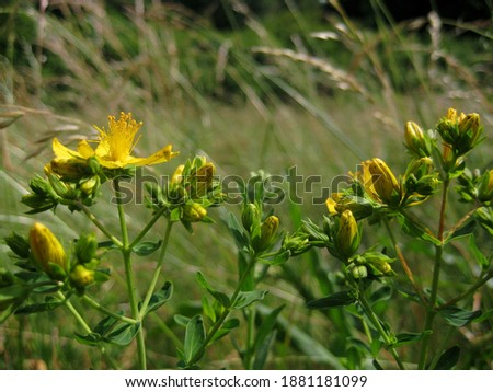 macro photo with a decorative background of yellow flowers of the wild forest herbaceous plant St. John's wort for use in medical purposes as a source for prints, posters, decor, interiors