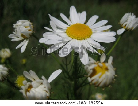 macro photo with a decorative background of white flowers of the medicinal herbaceous plant chamomile for use in medical purposes as a source for prints, posters, decor, interiors, advertising