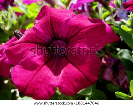 macro photo with a decorative background of a large purple flower of a herbaceous Petunia plant for landscaping and garden design as a source for prints, posters, decor, Wallpaper, interiors