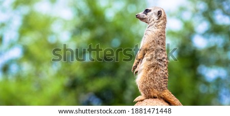 The meerkat attitude is the best surveillance system. He controls the territory and provide protection for the group. Useful for concept of security, alert and vigilance.