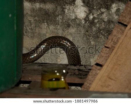 small rat snake hide behide wood pile in garage at night Royalty-Free Stock Photo #1881497986