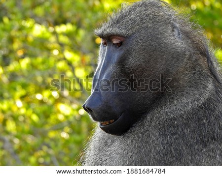 Portrait of an African wild baboon, sitting thinking in nature. Olive Baboon in the Kruger National Park.