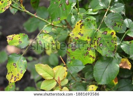A close up on a fungal rose disease black spot with infected yellow and green leaves which weakens the rose bush, and needs treatment. Royalty-Free Stock Photo #1881693586