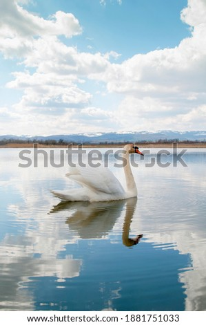 A white majestic swan floats in front of a wave of water. Young swan in the middle of the water. Drops on a wet head.  Royalty-Free Stock Photo #1881751033