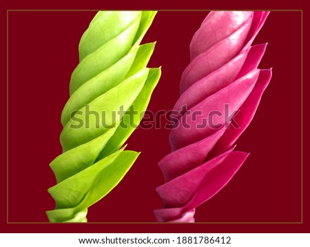 Colorful, green and pink design on young leaves (Zanzibar gem) with darker red background. #1881786412