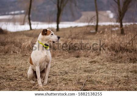 Beautiful american pitbull terrier, dog winter portrait, bad weather, mud, electronic collar Royalty-Free Stock Photo #1882138255