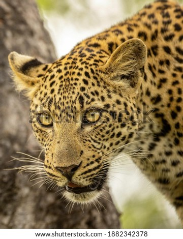 This is a picture of a leopard