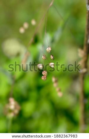 Common quaking grass - Latin name - Briza media Royalty-Free Stock Photo #1882367983