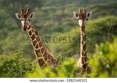 Two Rothschild's giraffe standing together in the wild-kenya Royalty-Free Stock Photo #1882568101