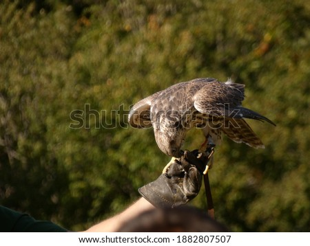 a picture of a Falcon on a hand of a falconer in the falconry in Daun. Falcon on hand of falconer eating chicken.