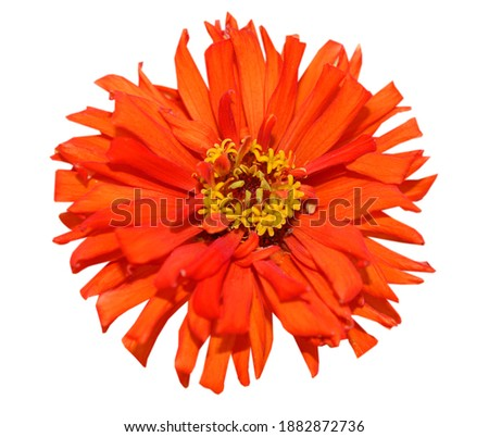 A red blooming zinnia daisy with clipping path