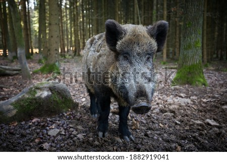 Sus scrofa. The wild nature of the Czech Republic. Free nature. Picture of an animal in nature. Beautiful picture. Animal in the woods. Deep forest. Mysterious Forest. Wild. From animal life. Wild boa