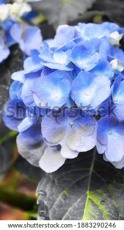 An abstract picture of blue flowers on a blooming hydrangea or hortensia in a summer garden in Torrington Connecticut.