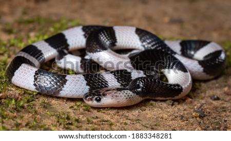 Malayan krait- highly venomous snake, Bungarus  candidus  Royalty-Free Stock Photo #1883348281
