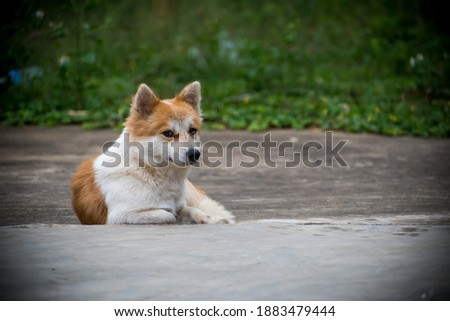 The dog is an attractive pet Pictured is a brown and white dog in a sweet photo taken in the park while outing in the United States Furry pup grass cute white background brown black nature doggy dome