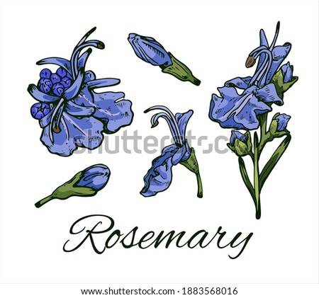 Colorful Rosemary hand drawn set. Rosemary flowers and buds. Vintage botanical art. Medical herb and spice. Retro culinary sketch. Herbal vector illustration isolated on white background Royalty-Free Stock Photo #1883568016