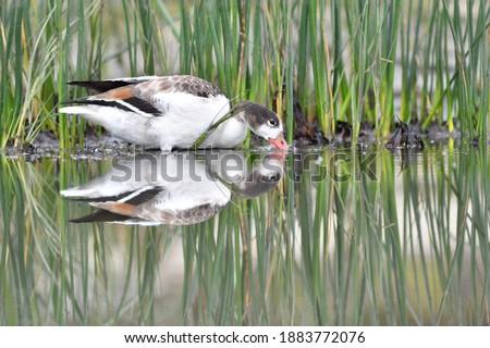 Portrait of juvenile common shelduck (Tadorna tadorna), reflection in water Royalty-Free Stock Photo #1883772076
