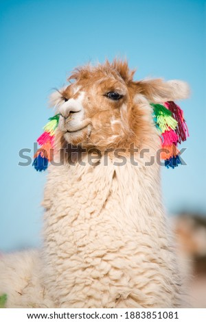 Alpaca in a oasis in the Atacama desert, Tambillo, Los Flamencos National Reserve, Atacama desert, Chile, South America
